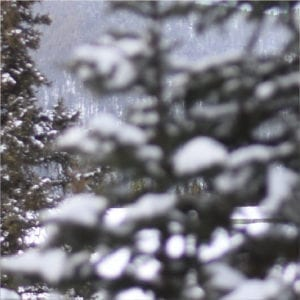 snowy evergreens in Montana