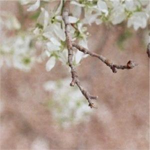 blossoms in spring in Denver