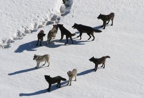 Wolf Stories